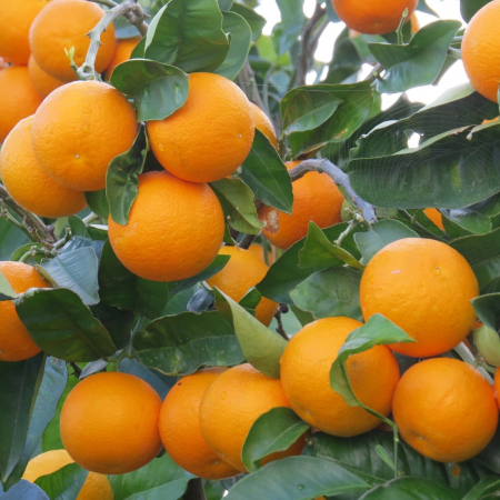 Therapeutic Wild Orange Essential Oils